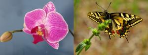 phalaenopsis cuidados